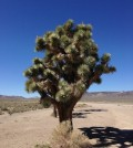 El árbol de Josué.